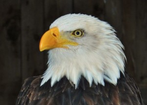 Live Bald Eagle Webcams