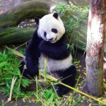 Live Panda Bear Web Cams