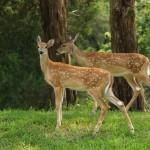Live Deer Webcams