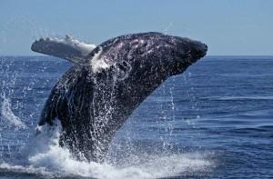 Live Whale Webcams