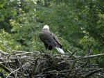 Live Bald Eagle Nest Webcam from Santa Cruz Island, CA