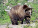 Live Grizzly Bear Webcams