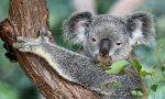 Live Koala Webcams